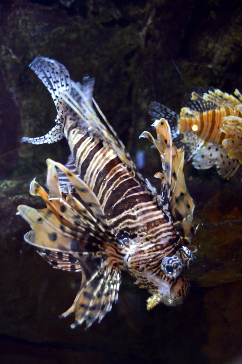 9. А эта рыбка, Коричневополосая крылатка-зебра, очень ядовита.